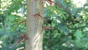 Lange Scherpe Doornen op Acaciaboom royalty-vrije stock foto