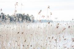 Schilfe im Winter lizenzfreies stockfoto