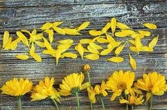 Lange Schlange von gelben Gänseblümchenblumen schließen oben mit den losen Blumenblättern stockfoto