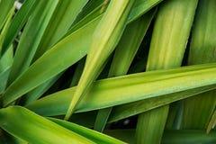 Lange schmale stachelige verwobene Palme verlässt tropisches Laub-Muster Plakat-Fahnen-Schablonen-Hintergrund Exotischer Ferien-T Stockfotografie