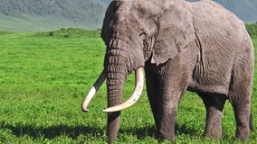 Lange slagtandenolifant stock videobeelden
