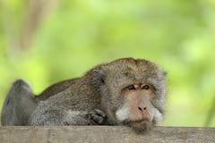 Lange staart macaque Royalty-vrije Stock Foto