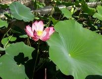 Lange stammen van bloeiende lelies stock afbeeldingen