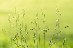 Lange stammen van natuurlijk wild gras backlit door wazig warm ochtendzonlicht op gebied stock foto's