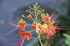 Lange Staubgefäss-Blume Lizenzfreies Stockfoto