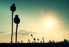 Lange steel van papaverzaad Avondgebied van papaverhoofden met zon bij horizon Stock Foto's