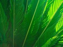 Lange stekelige palmbladeren in mooi geometrisch patroon, wazig, botanische zonlichtstralen, gebladerte, tropische achtergrond Royalty-vrije Stock Fotografie