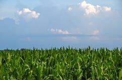 Lange Stelen van graan op een gebied Stock Afbeelding