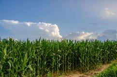 Lange Stelen van graan op een gebied Stock Afbeeldingen