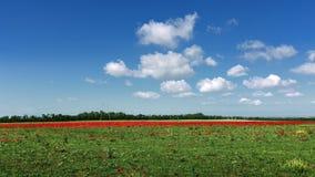 Lange strook van rode papavers en het groeien groen gras tegen de blauwe hemel van een schilderachtig landbouwlandschap Stock Afbeeldingen
