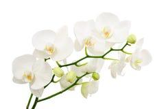 Lange takken van boeket gevoelige witte orchidee royalty-vrije stock afbeelding