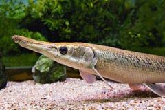 Lange Wekzeugspritzenfische Stockfoto