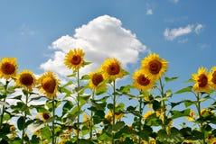 Lange zonnebloemen Stock Foto