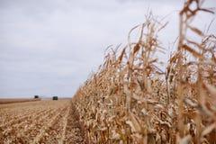 Lange Zurücktretenreihe von ungeschnittenen Maisanlagen Stockbilder