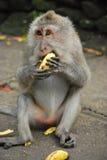 Langer angebundener Macaque Stockfotos
