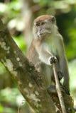 Langer angebundener Macaque Stockfotografie