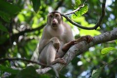 Langer angebundener Macaque Lizenzfreies Stockfoto