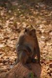 Langer angebundener Macaque Lizenzfreie Stockfotografie
