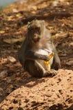 Langer angebundener Macaque Lizenzfreie Stockfotos
