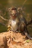 Langer angebundener Macaque Stockbilder
