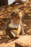Langer angebundener Macaque Stockbild