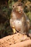 Langer angebundener Macaque Stockfoto