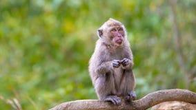 Langer angebundener Macaque Lizenzfreie Stockbilder