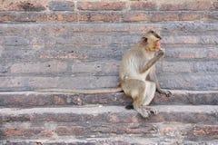 Langer angebundener Macaque Lizenzfreies Stockbild