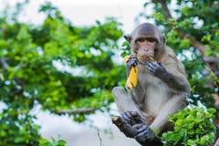 Langer angebundener Macaque-Fallhammer Lizenzfreie Stockfotos