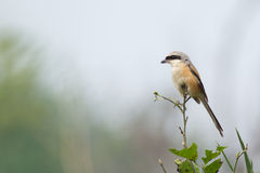 Langer angebundener Shrike Vogel Lizenzfreies Stockbild