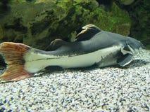 Langer Bart der Fische Stockfotos