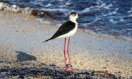 Langer Beinvogel der schwarzen necked Stelze in Süd-Frankreich-Küstenvogelfliegen und -fischen im Ozean lizenzfreies stockfoto