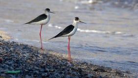 Langer Beinvogel der schwarzen necked Stelze in Süd-Frankreich-Küstenvogelfliegen und -fischen im Ozean lizenzfreies stockbild