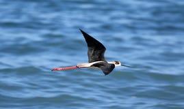 Langer Beinvogel der schwarzen necked Stelze in Süd-Frankreich-Küstenvogelfliegen und -fischen im Ozean lizenzfreie stockfotografie