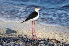Langer Beinvogel der schwarzen necked Stelze in Süd-Frankreich-Küstenvogelfliegen und -fischen im Ozean stockbilder