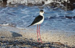 Langer Beinvogel der schwarzen necked Stelze in Süd-Frankreich-Küstenvogelfliegen und -fischen im Ozean stockbild