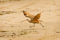 Langer berechneter großer Brachvogel, der auf Strand läuft Lizenzfreies Stockfoto