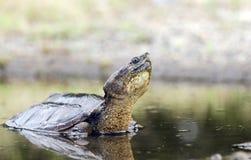 Langer Hals reißende Schildkröte im Sumpf, Georgia USA Lizenzfreies Stockfoto