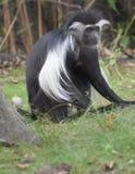 Langer Limbed Schwarzweiss-Colobus-Affe, der im Gras sitzt Lizenzfreie Stockbilder
