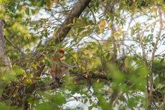 Langer Nasenaffe, der auf Baumast, Labuk-Bucht, Borneo sitzt Stockfotografie