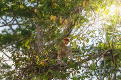 Langer Nasenaffe, der auf Baumast, Labuk-Bucht, Borneo sitzt Lizenzfreies Stockfoto