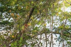 Langer Nasenaffe, der auf Baumast, Labuk-Bucht, Borneo sitzt Lizenzfreie Stockbilder