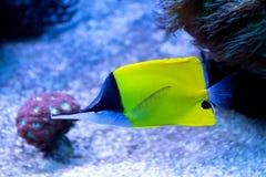 Langer Nasenschmetterling des korallenroten Fischgelbs im tropischen Meer Stockbild
