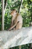 Langer tailes Makaken, der auf einer Bank sitzt Stockfoto