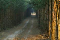 Langer Weg zwischen Kiefern stockfoto