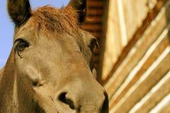 Langes Gesicht eines Pferds Stockfotos