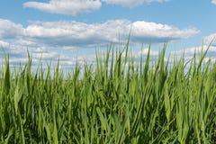 Langes grünes Gras Lizenzfreies Stockfoto