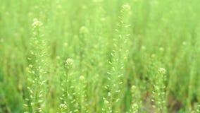 Langes grünes Gras, das in den Wind sich bewegt stock video footage