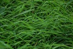 Langes grünes Gras mit Regentropfen stockfoto