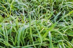 Langes Gras mit silbernen Tautröpfchen Lizenzfreie Stockfotos